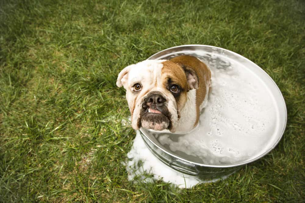 English Bulldog looking up at viewer from tub of bath water.